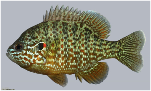 Pumpkinseed sunfish for Alabama fish hatcheries